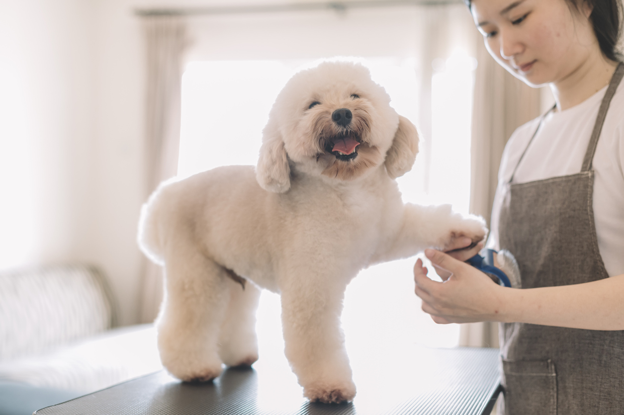 A poodle getting grooming services from one of the mobile pet groomers near Germantown.
